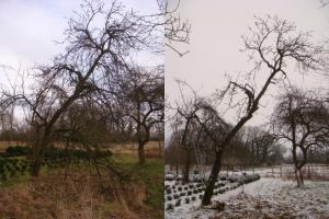 Vor und nach dem Verjüngungsschnitt